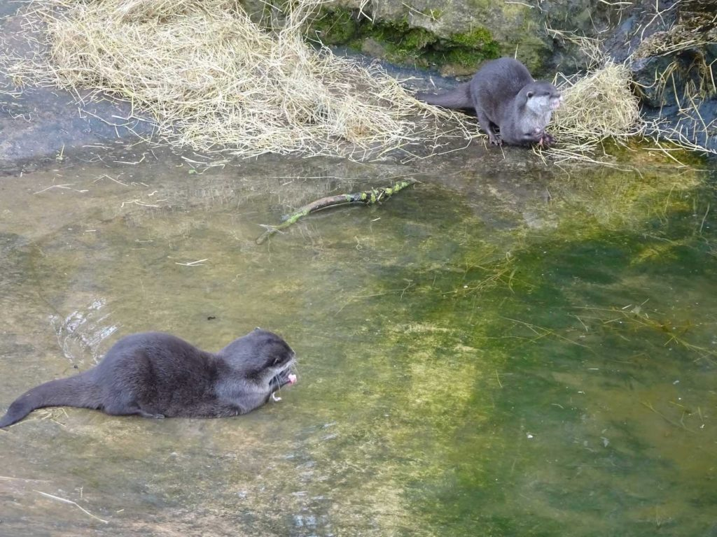Otters-Twycross-Zoo-2018
